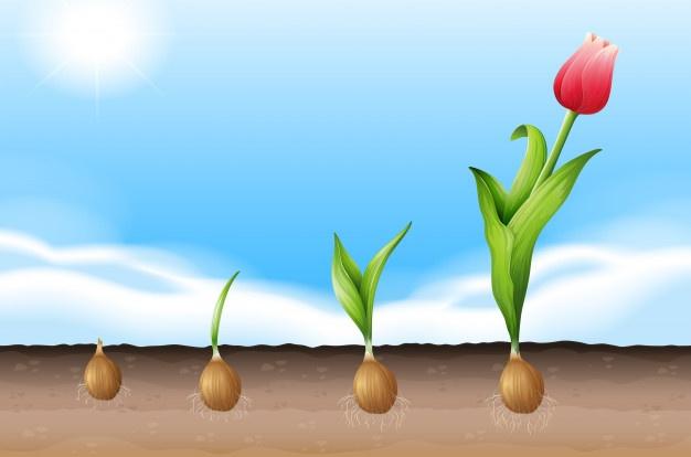 tulipan-rosnie_
